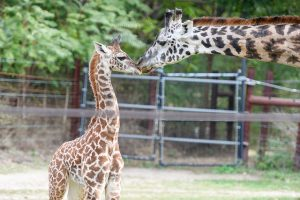 Giraffe Mom and Baby | CenterTable Digital Agency